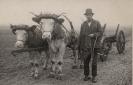 Feldarbeit mit dem Ochsengespann